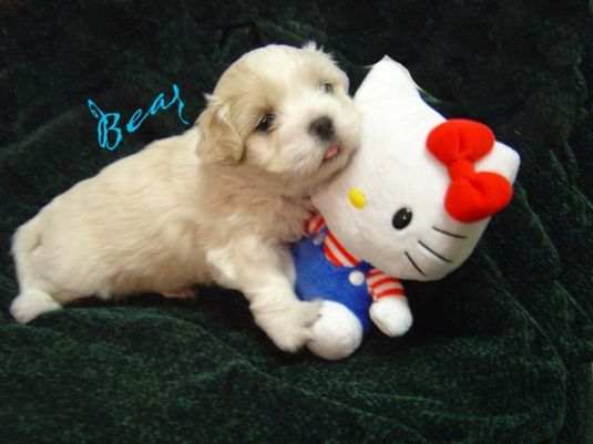 Bear the Maltese