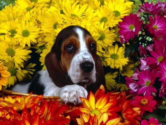 Bo the Basset Hound