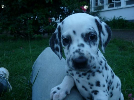 Cute Dalmatian Puppies - Puppy Pictures