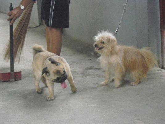 Cholo the Pug