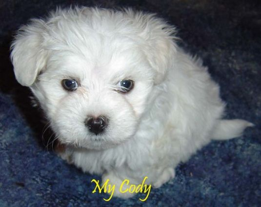 Cody the Maltese Puppy