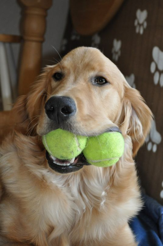 Cooper The Golden Retriever Cute Puppy Pictures Daily