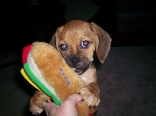 Copper the Puggle