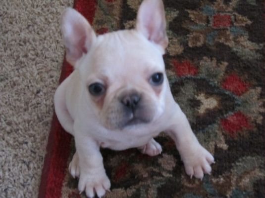 Fergie the French Bulldog