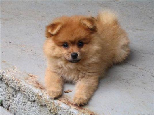 Foxy the Pomeranian