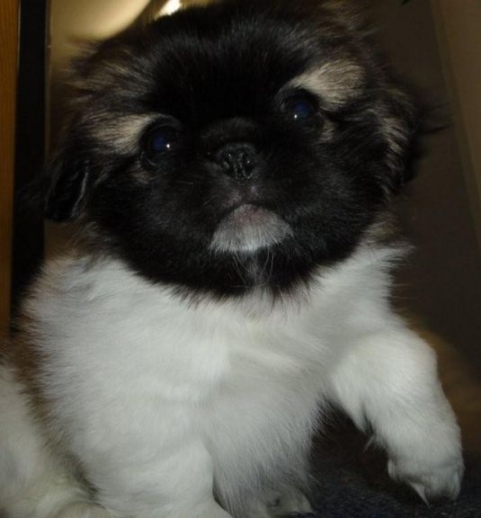 Gizmo the Picky Pekingese