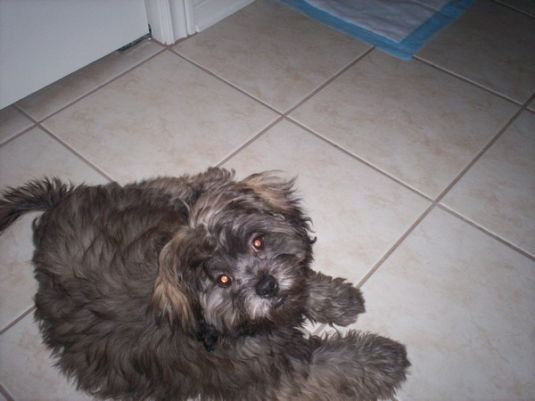 Griffin the Toy Shih Poo