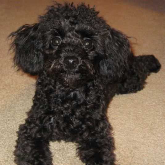 The 30 Super Cute Poodle Puppies | The Wondrous |Cute Poodle Puppies