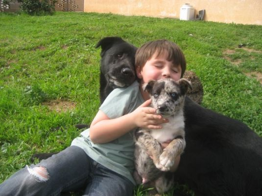 German Shepherd Puppies