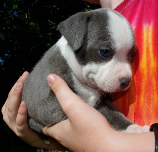 Cute Puppy: Ollie the Staffordshire Terrier