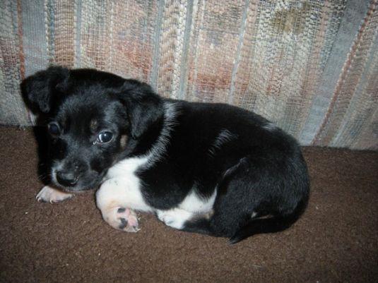 Oreo The Borador Cute Puppy Pictures Daily