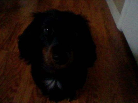 long haired dachshund black and brown. was a long hair dachshund