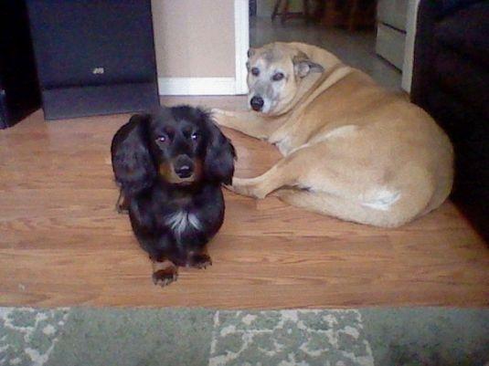 long haired dachshund black and brown. was a long hair dachshund