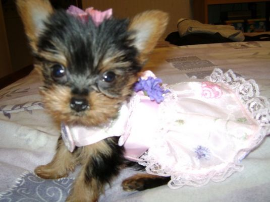 Roxanne the Toy Yorkie