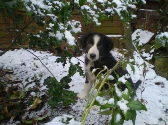 Skye The Boarder Collie