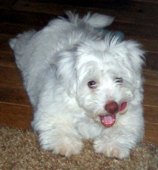 Cute Puppy: Sweet little Mon Chouchou