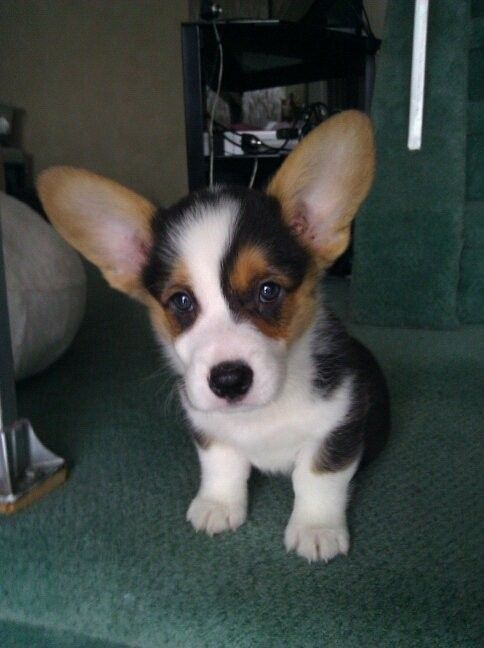 Tocchet the Pembroke Welsh Corgi