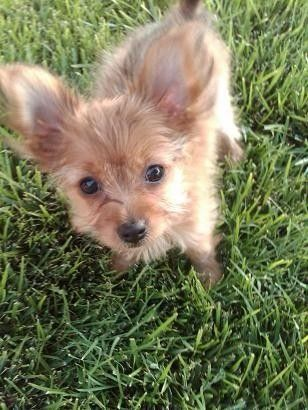 itty bitty abby cute puppy pictures daily