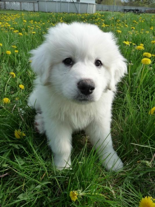 Apollo The Great Pyrenees Cute Puppy Pictures Daily