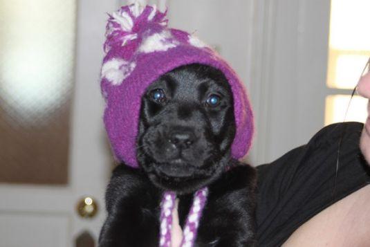 Ashlee the Labrador Retriever