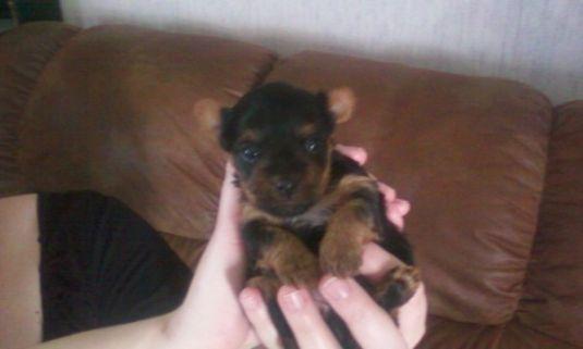 Cute Puppy: Bambi the Tiny Yorkie