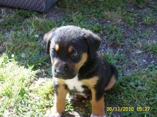 Carter the Rottweiler Puppy