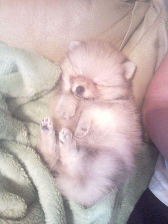Cooper the Pomeranian