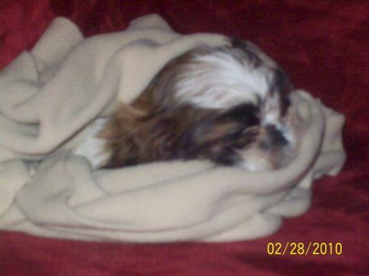 Cute Puppy: Cute little Max