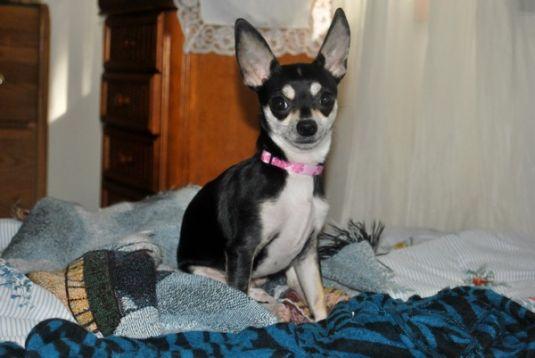 Emah the Chihuahua