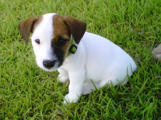 Harley the Jack Russel