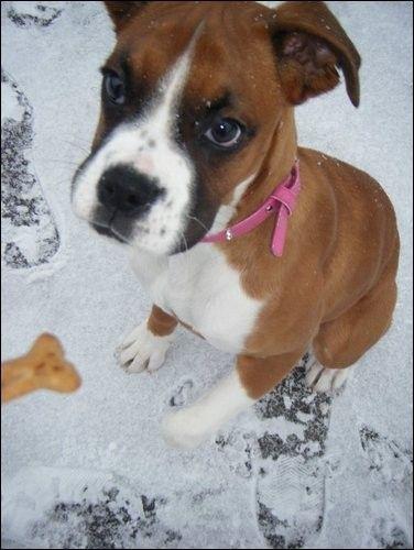 Cute Puppy: Jazz the Rabbit Loving Boxer