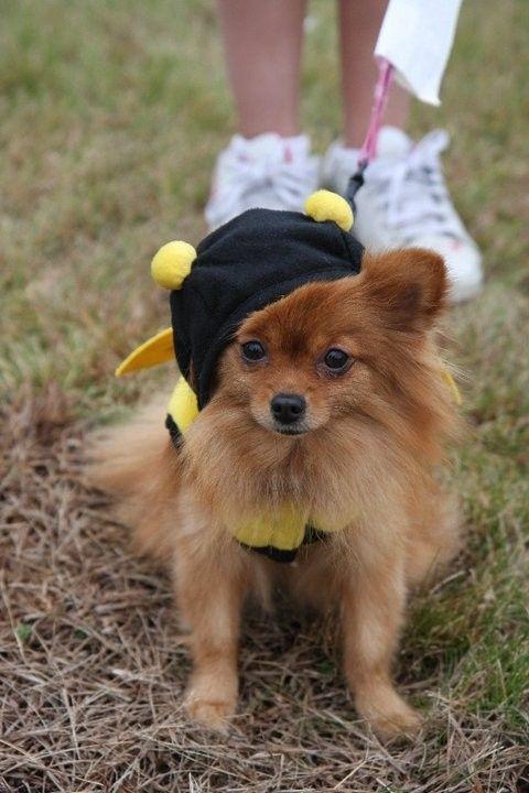 Koukla the Toy Pomeranian
