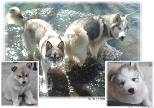Cute Siberian Husky Puppies Puppy Pictures
