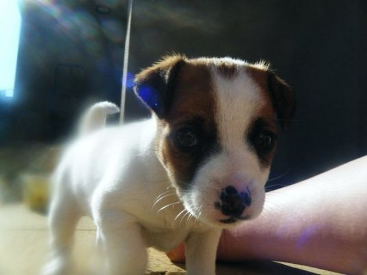 Macey the Toy Fox Terrier