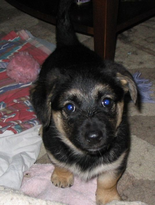 Cute German Shepherd Puppies Puppy Pictures Page 3