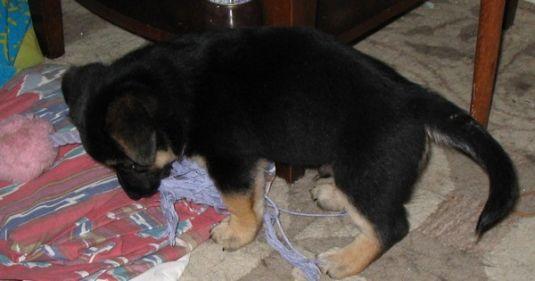 Cute Puppy: Playfull Koa