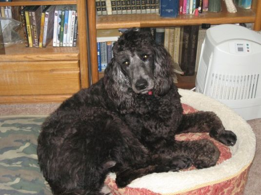 Pluto the Poodle