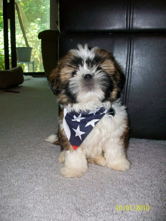 Cute Puppy: Happy 4th of July from Tahari