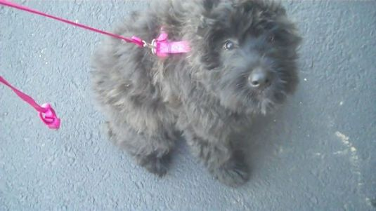Willow the Bouvier