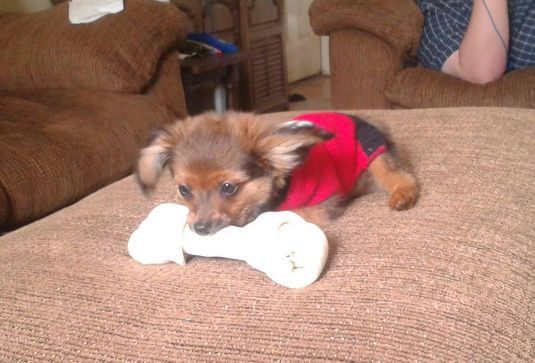 Winston the Dameranian - Cute Puppy Pictures Daily